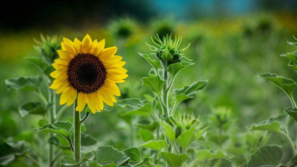 zonnebloem-knop-leven in goud-marieke van riel-windkracht mee
